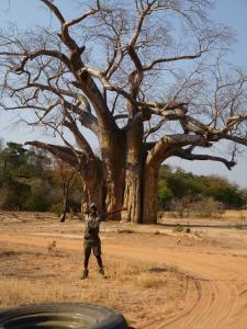 Baobab tree