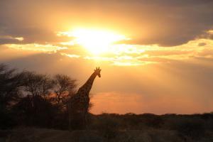 Giraffe at AfriCat