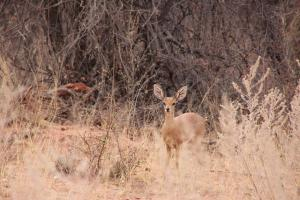 The small Steenbok - who mate for life