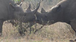 Rhinos kissing