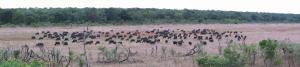 Buffalo herd in Hwange NP