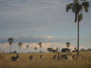 Zebra in Hwange NP