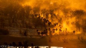 Buffalos coming to water in Hwange NP