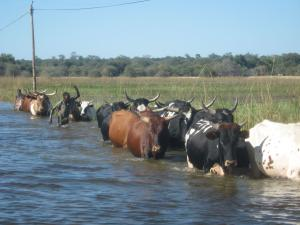 Tribal boys moving the cows